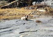 泰山周边有北极狐现身 或是有人放生