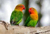 牡丹鹦鹉会说话吗?怎么教牡丹鹦鹉说话?