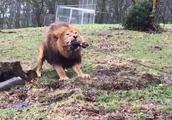 8岁孩子和狮子老虎玩拔河,动物园这项奇葩体验把网友惹毛了