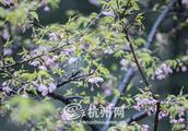 再多的雨水也挡不住春天步伐 杭州植物园日本早樱盛开