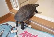 奇葩男子想煎龟蛋来吃,开火10分钟后后悔了
