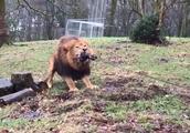 英动物园允许未成年人与狮子老虎拔河遭民众抨击