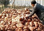 农村打红薯粉全过程,看看农民是怎么打红薯粉的,你见过吗?