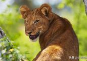 有小狮之称的猫科动物:因长得丑皮毛质量又差,躲过了人类捕杀