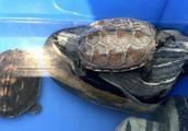 地球上10大最适合新手养的龟,草龟第一,巴西龟第二,你养了吗?