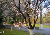 南京这所大学的樱花开了:美成粉嫩花海,颜值不输武汉大学