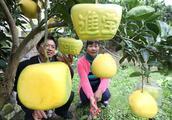 日本方形西瓜卖出1688美元的天价,国内方形柚子也能否获得高价呢