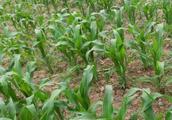 玉米亩产量无法达到1000公斤,问题在下面,农民朋友记住