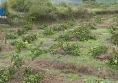 猖狂!桔子树被砍不足一月,不法分子再次作案