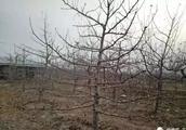 了解了苹果品种特性,冬剪少走弯路!