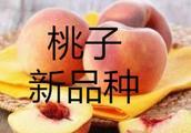 新品种|抗寒优质桃新品种:中农寒桃1号