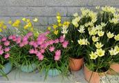 4种好看的花,一个种球丢盆里,一年长爆盆,年年开花漂亮好闻!