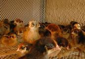 农村常见骗局揭密之三:农村养鸡回收骗局过程及套路揭秘