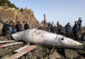 """7.5米长的罕见""""大鱼""""惊现威海荣成鸡鸣岛海域"""