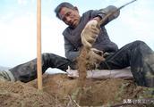 奇葩!黄河滩凃挖铁棍山药计算工钱不计重量,农民计算办法有意思
