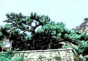 泰山上的这棵松树,因为救秦始皇被封了一个官!