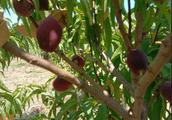 2019种什么最赚钱?这颗果树最易存活,零下30度都不死!最强脱贫