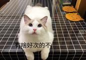 家里养了一只可爱的布偶猫,是一种什么样的感觉和体验