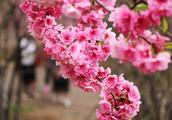 昆明圆通动物园樱花盛开,快抓紧时机去观赏
