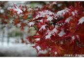 枫叶飘零,初雪洋洋洒洒,痴情男女的爱情在融化