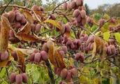 """别种大蒜洋葱了!此树我国""""国宝"""",比黄金还贵,一棵高产三千斤"""