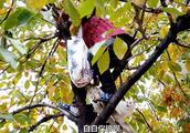 64岁农村婆婆爬树摘柿子,金毛狗狗扶梯子,猫咪在干啥让人捏把汗