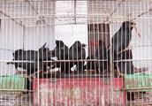猎捕贩卖野生八哥违法!男子违法贩卖16只八哥,罚款5倍还被抓!