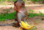 回忆录:小猴(lori)不在状态,拿香蕉给它吃,它都不吃