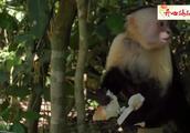 卷尾猴偷盗食物,占领地盘,这些恶劣的行为竟是人类惯出来的?
