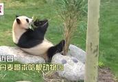 萌物来袭!中国大熊猫亮相丹麦 女王亲自剪彩熊猫馆