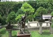 爱木盆景I 苏州拙政园榆树盆景欣赏,半边树皮是天成还是认为?