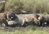 饥饿的鬣狗捕食河马,河马一动不动任它撕咬,这是什么原因?