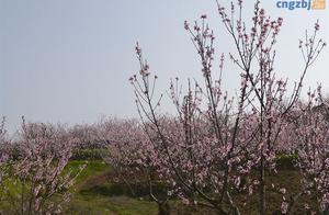 织金县纳雍乡千亩桃花引客来