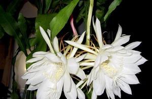 """仙人掌中的""""美人"""",蟹爪兰和昙花,克服""""弱点"""",花开长长久久"""