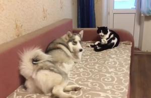 狗狗每次想跟家里的猫咪玩,猫咪总是高傲的不理它,真是没谁了
