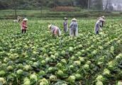这种蔬菜收购价7分一斤,一亩亏千元,好吃却卖不出,农民想不通