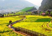 湖南张家界景区内油菜花盛开,一望无际蔚为壮观,原生态没门票