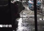 黄牛12小时注水120斤现场过程揭秘,黄牛痛哭流泪老板还这样说!