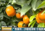 广西40万吨沙糖橘滞销 收购价暴跌到不到1.5元一斤