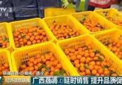 广西象州县40万吨沙糖橘滞销 收购价暴跌到不到1.5元一斤