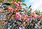 美美美!梧桐山吊钟花开了!即将进入盛花期!还有这些花儿可赏!